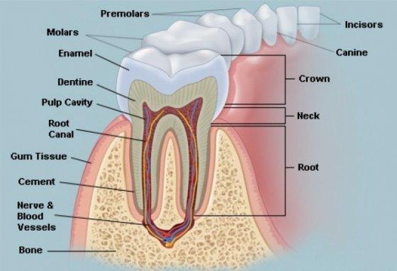 Anatomia dintelui – structura dintilor